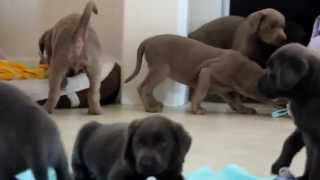 Silver & Charcoal Lab Pups For Sale