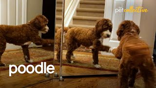 The Most Pampered Poodles