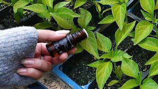 Кормите рассаду этим если нужен огромный урожай! Биологи в шоке от результата!