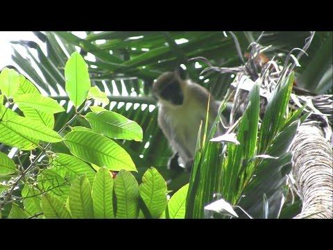 4. Exploring St.Kitts, green vervet monkeys, and the Sugar Train