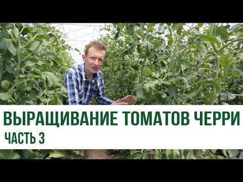 Выращивание томатов черри: обзор 4 гибридов, которые обязательно стоит попробовать! (часть 3)