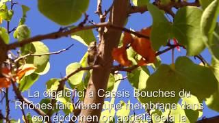 La cigale de Cassis (Bouches du Rhônes) France
