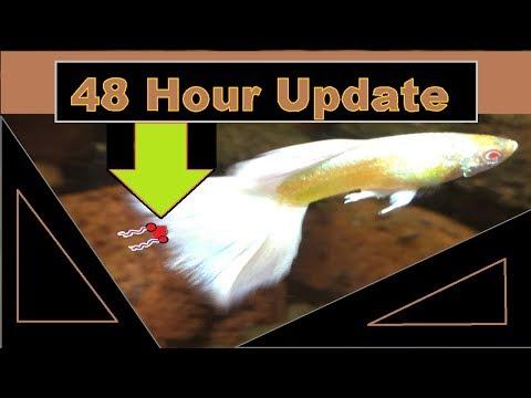 Aquarium Parasite Treatment 48 Hour Update Anchor Worms