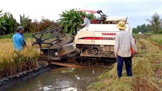 MÁY CẮT LÚA YANMA 82 CHẠY CẮT LÚA VUÔNG TÔM máy gặt đập Liên Hợp yanma