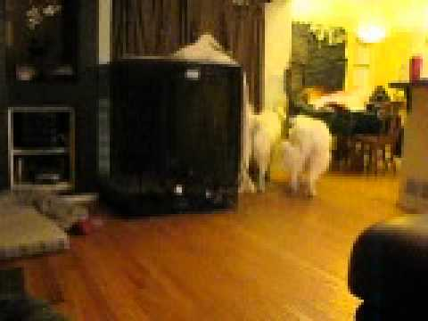 Mya and Bonnie playing #2, Great Pyrenees, Big Dogs Huge Paws