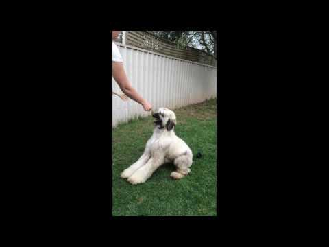 Afghan Hound puppy training