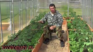 Уход за томатами. Две стратегии роста