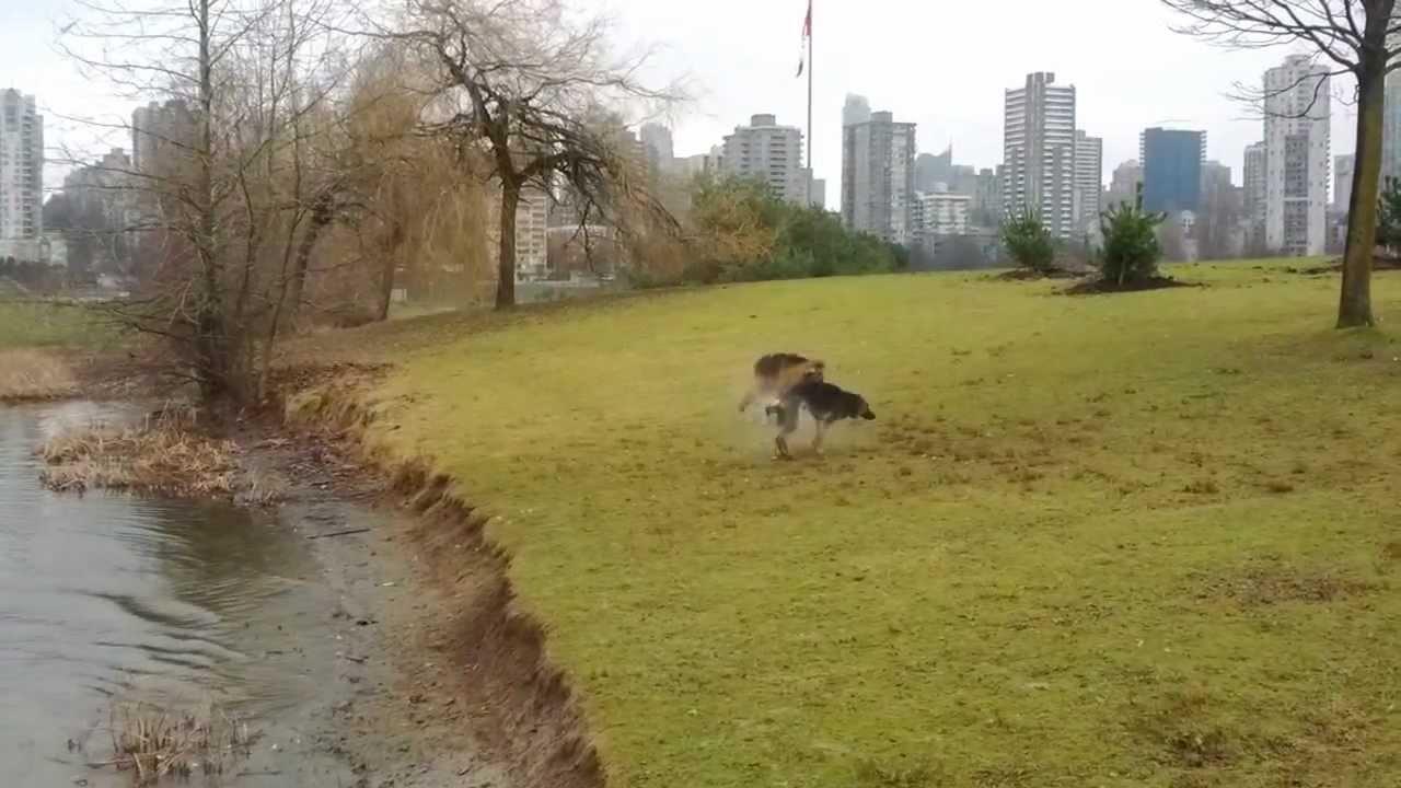 German Shepherd Duck Hunters Youtube