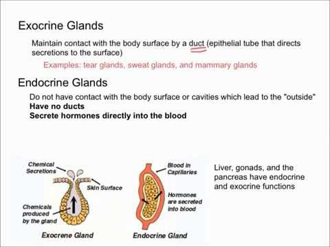 Which internal organ has both endocrine and exocrine functions?