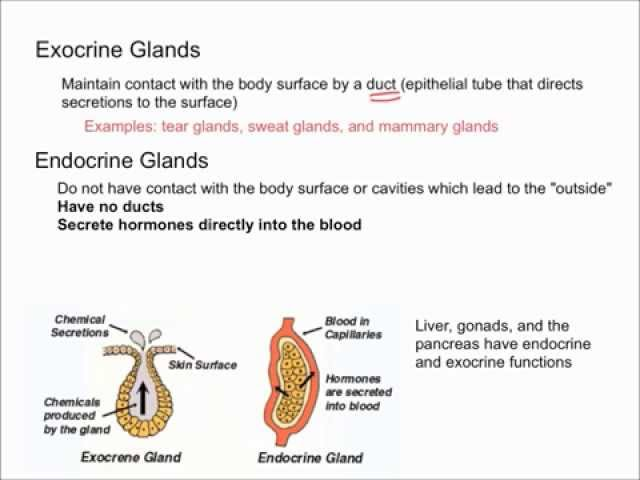 Difference Between Exocrine Glands And Endocrine Glands