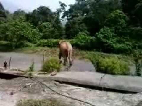 Siruvani Wayanadan Wild Elephant