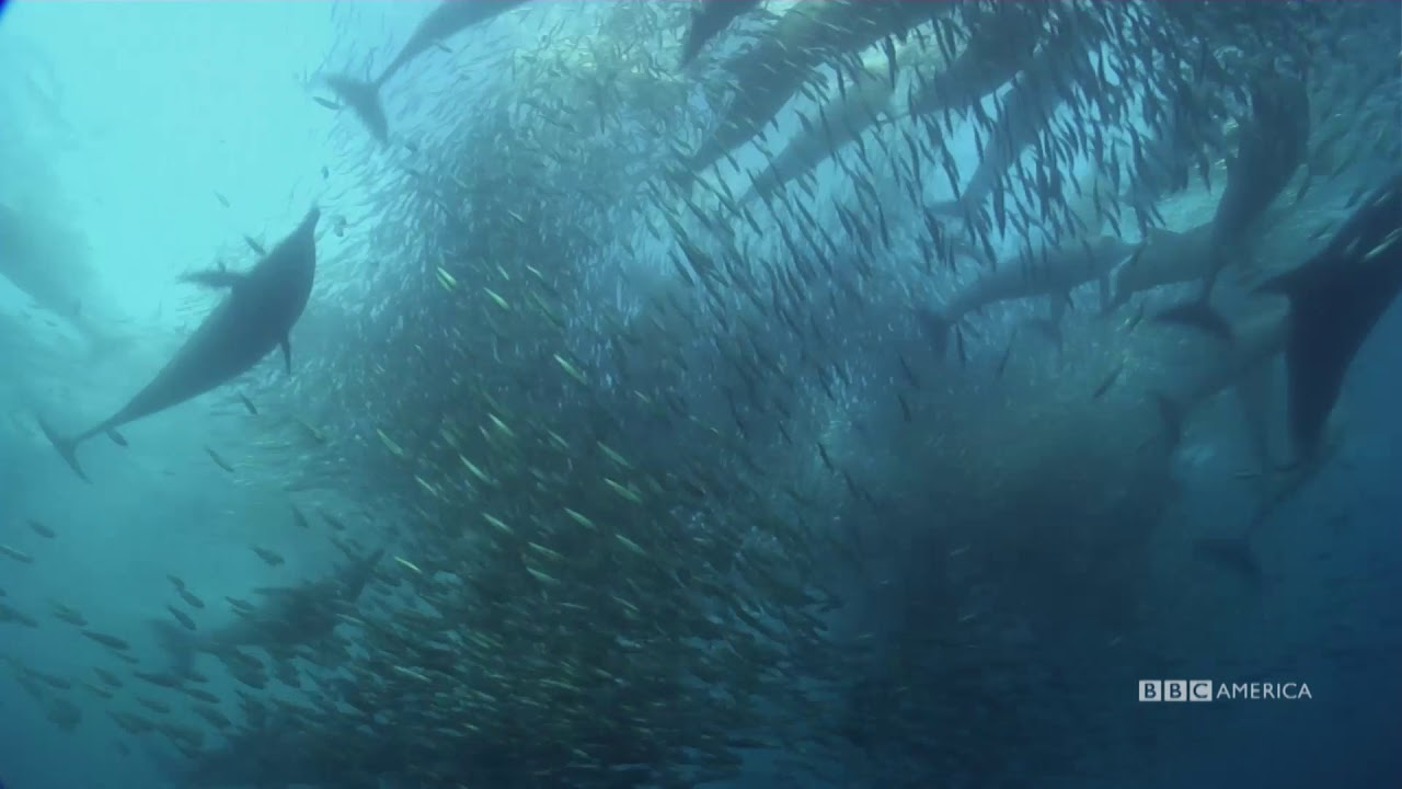 Epic Underwater Feeding Frenzy | Nature's Great Events | BBC America