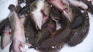 Рыбалка на Налима Река Осень Налим Жирует Ночь Донка и Горы Налимов