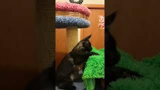 Черный дымный мальчик котенок Мейн-кун, 4 месяца
