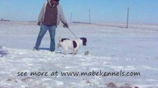 Mabe Kennels: Dustys Bc Dreamaker Aka Tea : No Distractions