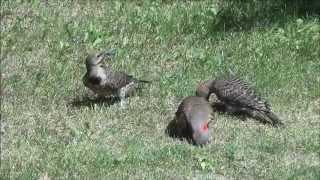 Лето в деревне. Канада. Птицы, животные, природа...