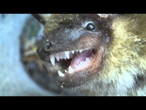 Up-close video of a bat's teeth.