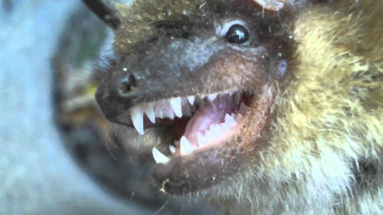 up close video of a bat u0027s teeth youtube