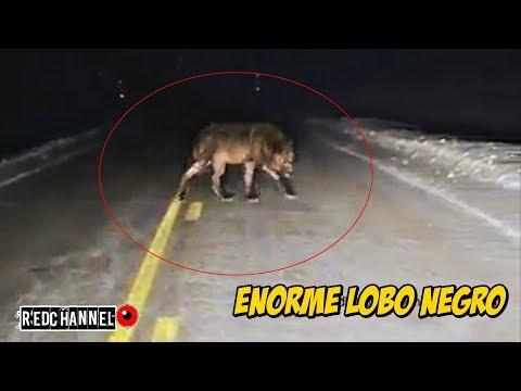 🐺Enorme Lobo Negro Caminando en Carreterra| huge black wolf