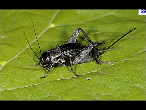 Tying a black cricket by davie mcphail youtube for Fishing with crickets