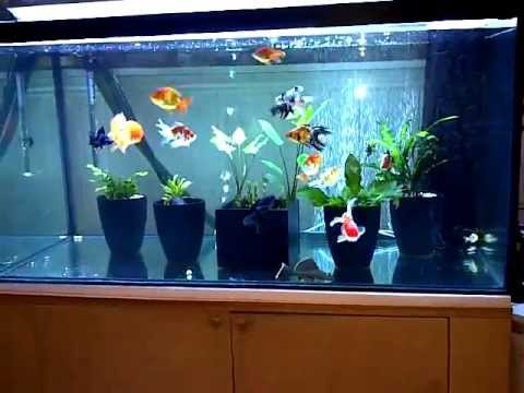 450 Litre Huge Fancy Goldfish Tank