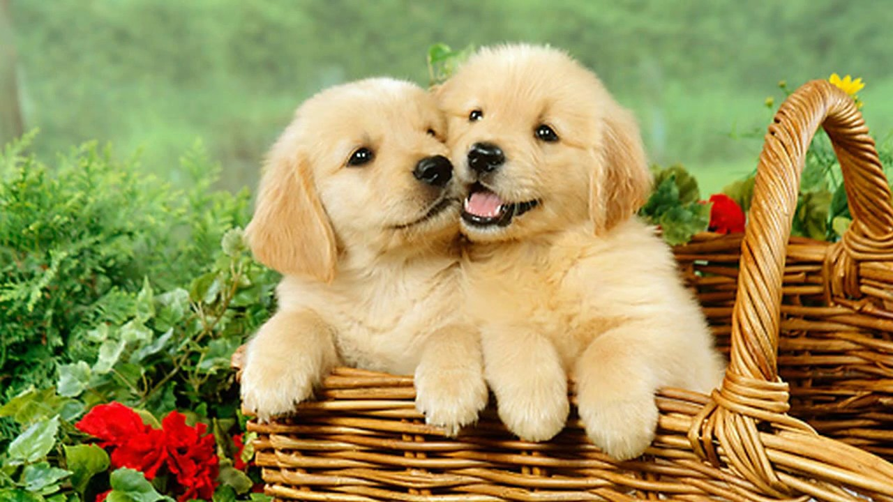 Really Cute Puppies Golden Retriever Playing - YouTube Cute Puppies