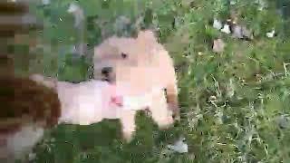 OliviaOscar 12/19/20 AVAILABLE wheaten Lakeland terrier female