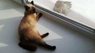 Тайская кошка и сова