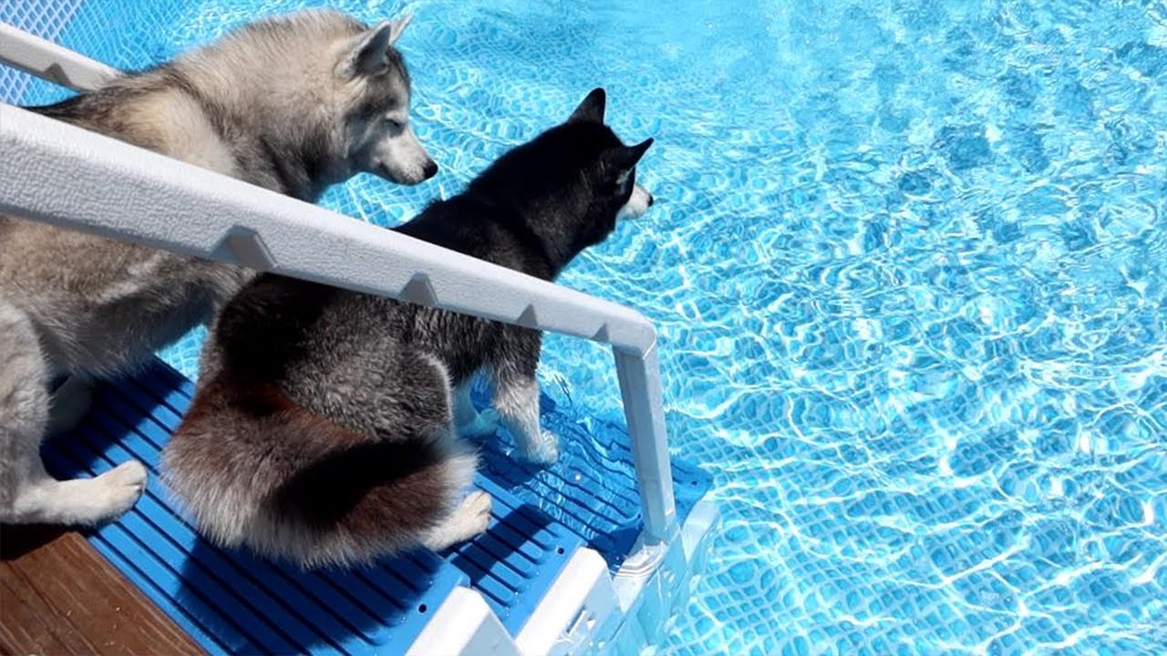 Will My Husky Remember How To JUMP in the Pool?