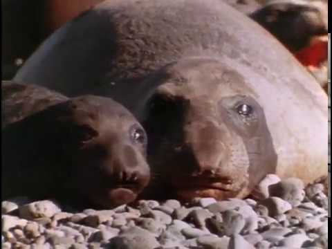 Return of the Sea Elephants, Episode 11 of 37, Jacques Cousteau Odyssey. The real Life Aquatic
