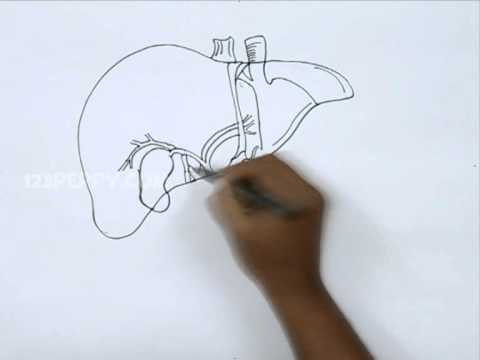How To Draw A Liver Youtube