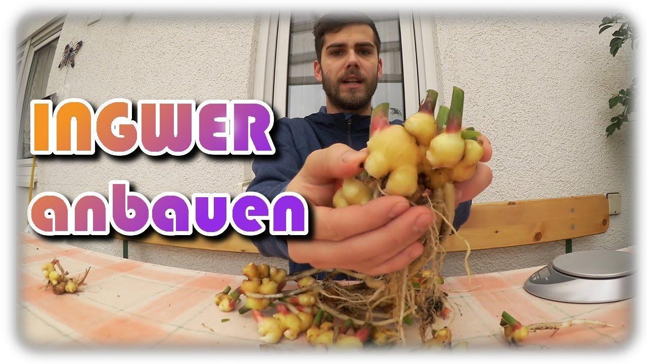 Prächtig Ingwer erfolgreich anbauen #5 | Ingwer pflegen, ernten & lagern @UX_09