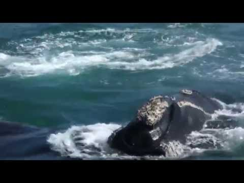 Whale Watching in Hermanus, near Cape Town