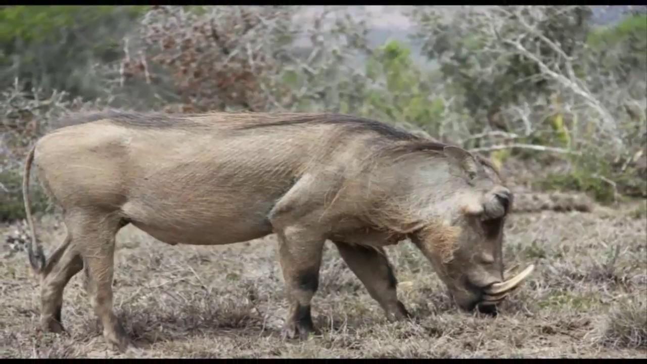 60 Koleksi Gambar Hewan Babi Hutan HD Terbaik