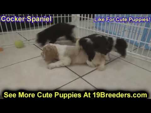 Cocker Spaniel, Puppies, Dogs, For Sale, In Louisville, Kentucky, KY, 19Breeders, Bowling Green