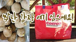 [감자] 베란다에서 쇼핑백에 감자 키우는 법.타임랩스포…