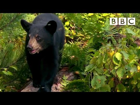 Cute Nine Month Old Bear Cub Meets Bees For The First Time 🐻😍🐝 | Meet The Bears - BBC