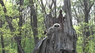 Fish owl / Рыбный филин