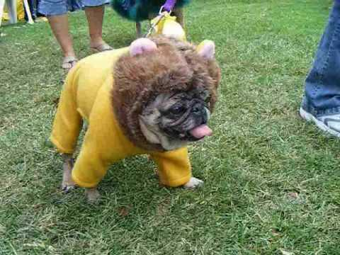 pugs dressed for halloween its a wonderful world youtube - Pugs Halloween