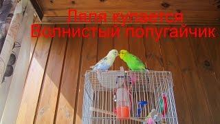 Волнистый попугайчик купается -ЛяляГоша