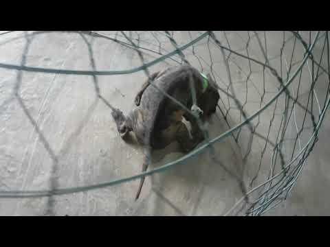 Bán chó Phú quốc cái vện cọp đẹp cho anh Khánh ở Đà Nẵng!!!