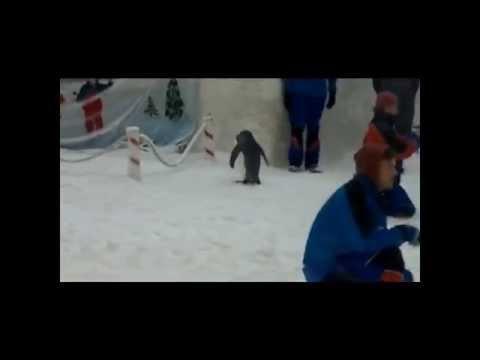 Real penguins in Mall of the Emirates Ski Dubai