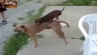 животное спаривание...  смешное видео