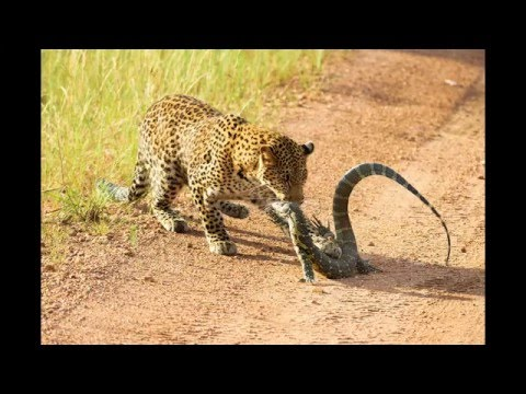 Leopard vs. Monitor Lizard