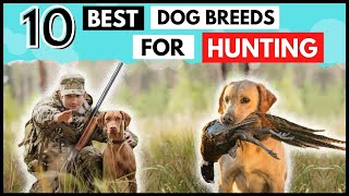 Top 10 HUNTING      Dog Breeds of all time.