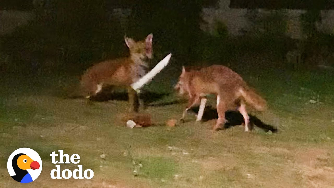 Foxes Sneak Into Backyard And The Cutest Thing Happens   The Dodo Wild Hearts