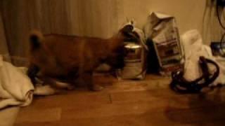 小犬が色々なものに興味を示しています。 おっかな びっくり しながら学...