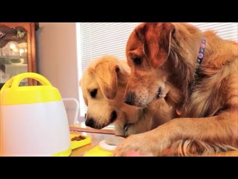 Bloopers! Funny Golden Retriever Puppy Dogs React To Treat Dispenser Training!