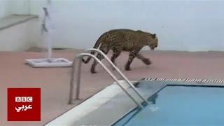 الفهد الهندي يفر مجددا والسلطات تدعو لعدم الهلع