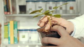 Выращивание Глицинии из семян. Орхидейное дерево или Баухиния - проращивание семян